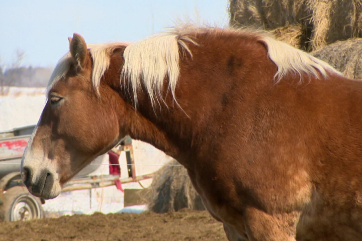 Tainted meat: Banned veterinary drugs found in horse meat