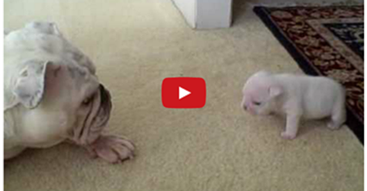 Elvis The Bulldog Puppy Talks Back To His Momma