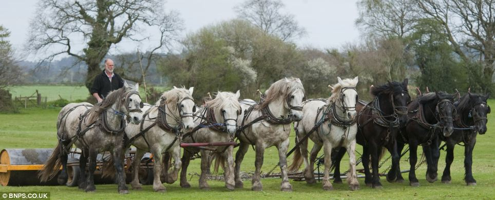 The magnificent EIGHT keeping farming history alive: Farmer ploughs fields in the way his family has since 1885