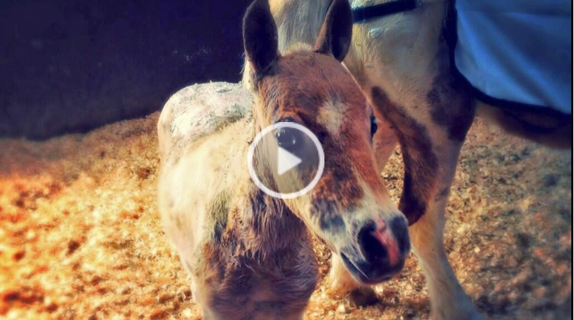 Heroic pony saves her foal from barn fire