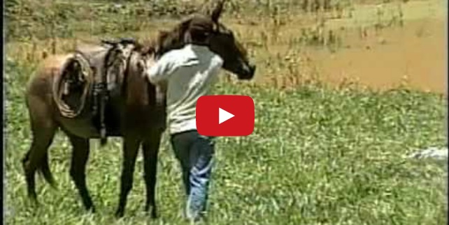 Have you ever seen this video of a mule defending his human?