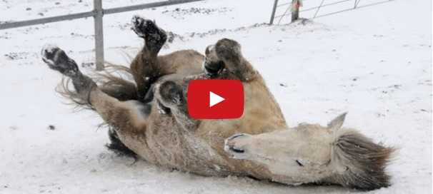 Horses Playing in Snow Compilation