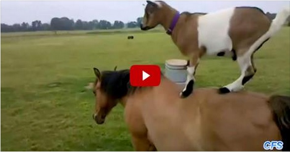 Goats Ride Horses..So Funny.just watch it