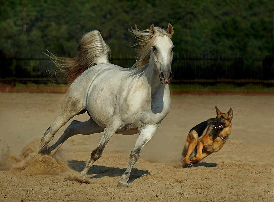Majestic Beauty – 10 pics of Arabian and Andalusian Horses